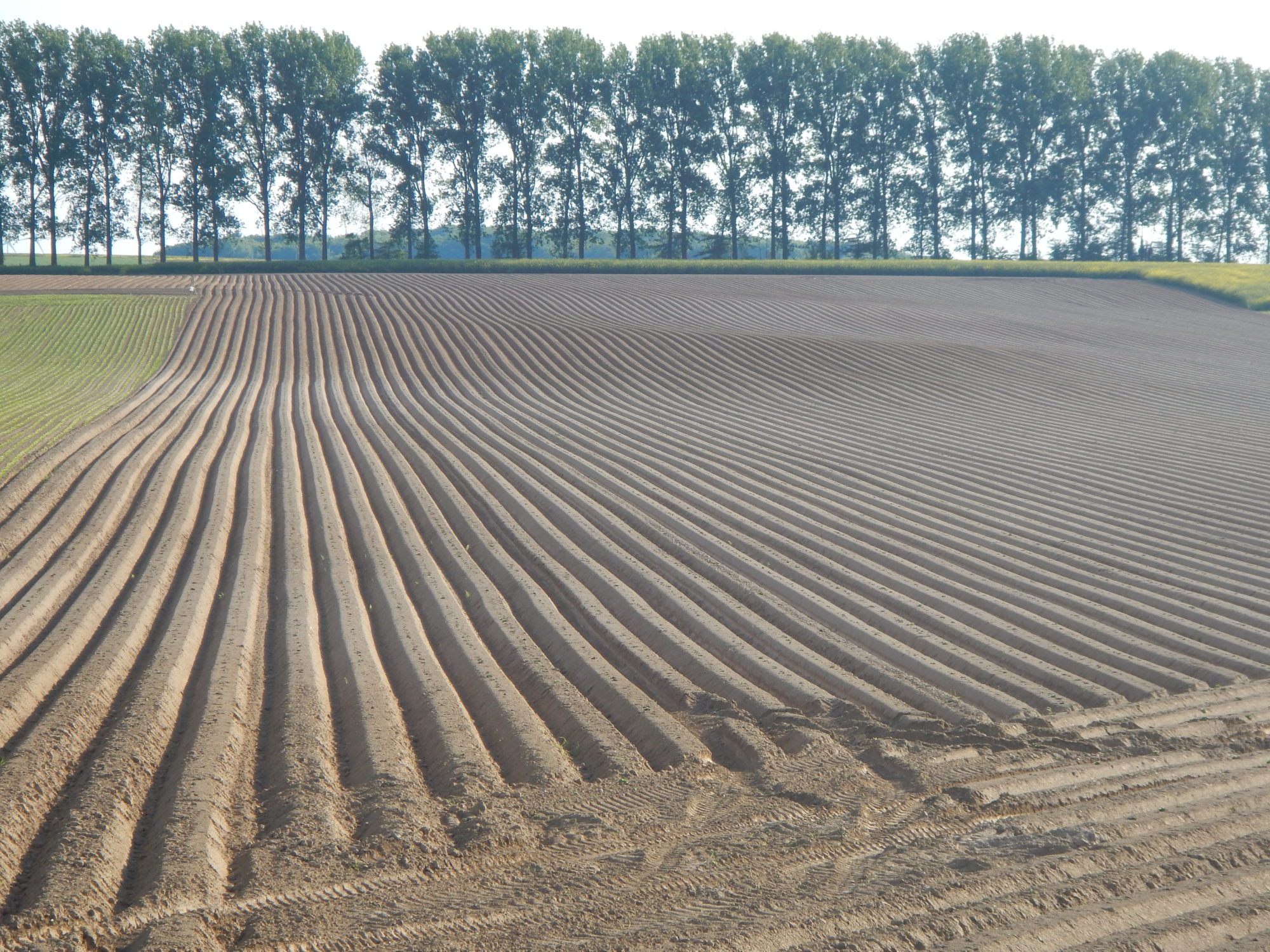 Culture de la pomme de terre: avec ou sans labour? Résultats de quatre année d'essais