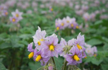 Signature de la « convention pommes de terre robustes bio » en Région wallonne