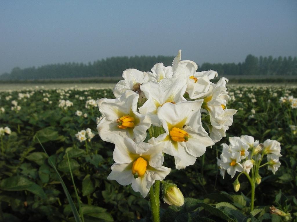 Evolutions à propos du « Convenant », convention pommes de terre robustes aux Pays-Bas