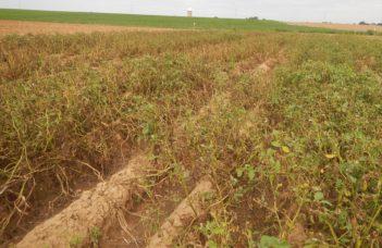 Moins de contaminations bactériennes grâce à une machine imaginée par un producteur de plants qui récolte les fanes de pommes de terre.