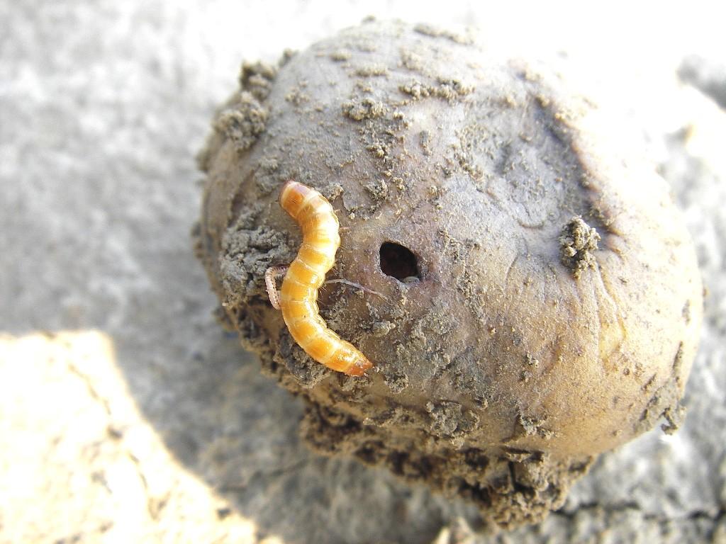 Taupins et pommes de terre : comment éviter les (mauvaises) surprises…