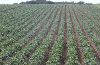Surfaces et développement de la pomme de terre bio