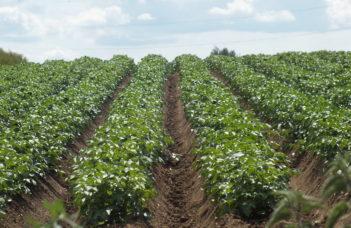 Plant fermier, coupé, virosé… Résultats variables… et explicables.