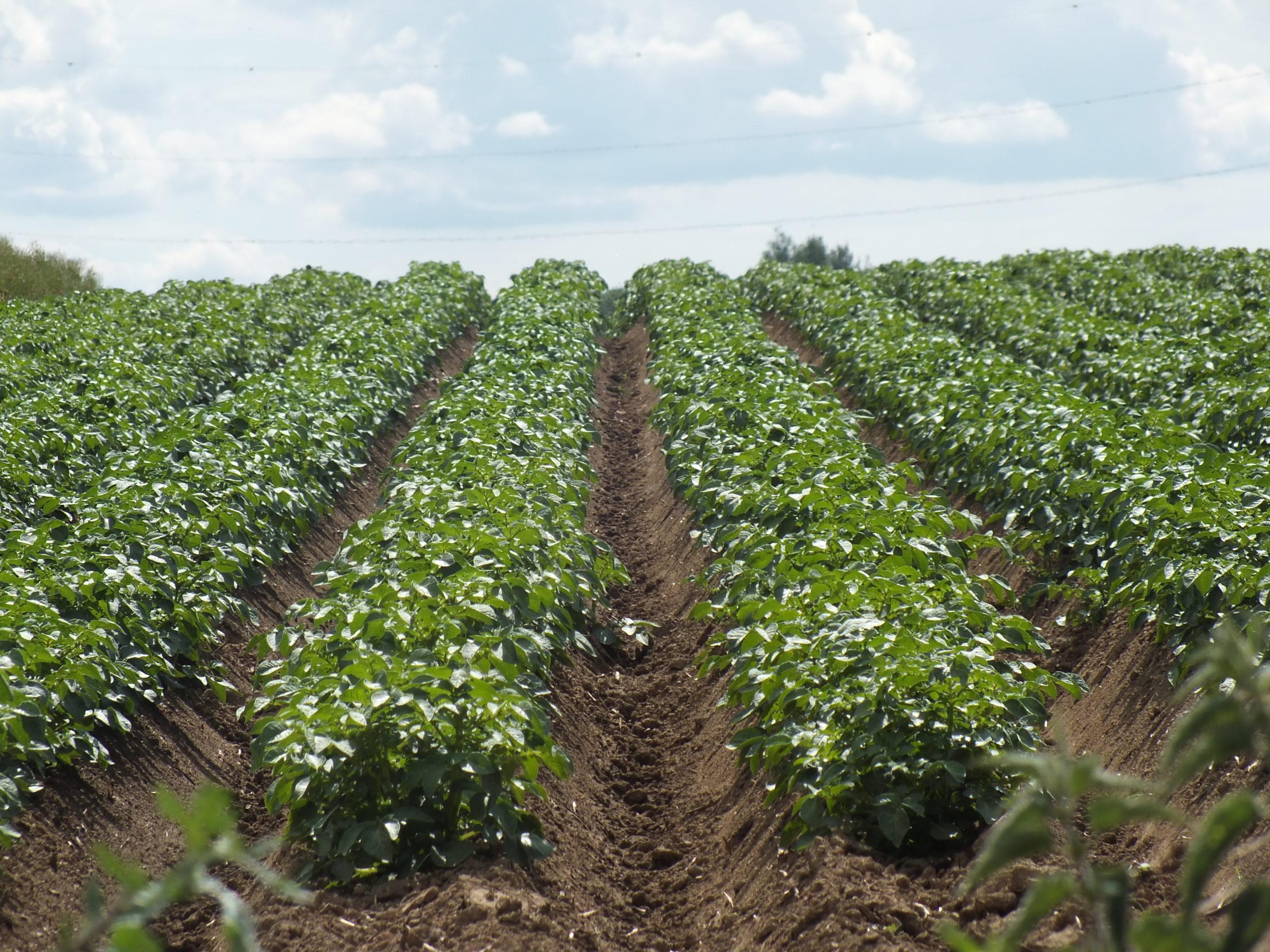 Le cloisonnement des interbuttes en culture de pomme de terre: nouvelle démonstration de la faisabilité technique et économique.