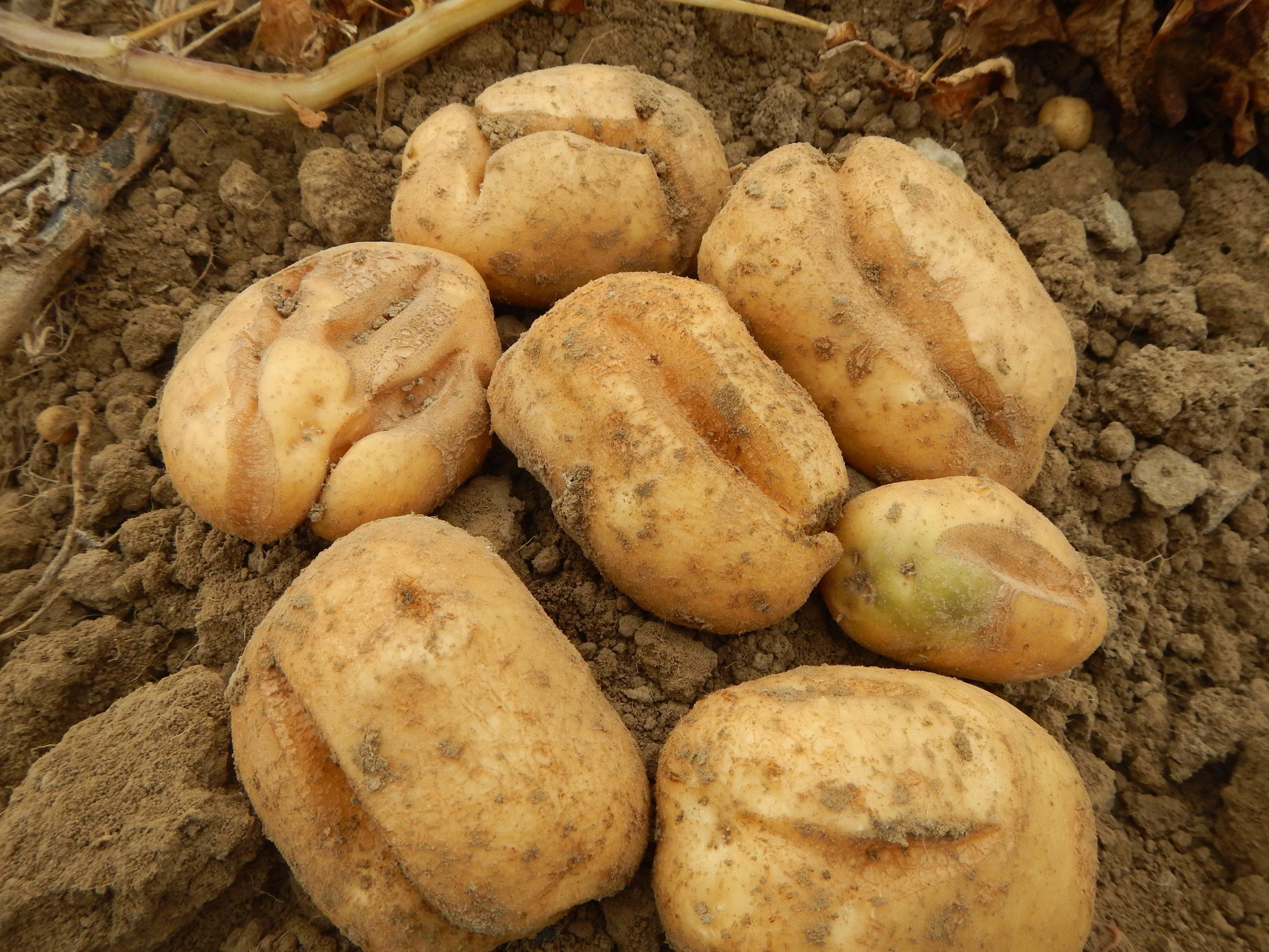 Crevasses de croissance en Fontane: quel impact sur la transformation en frites?
