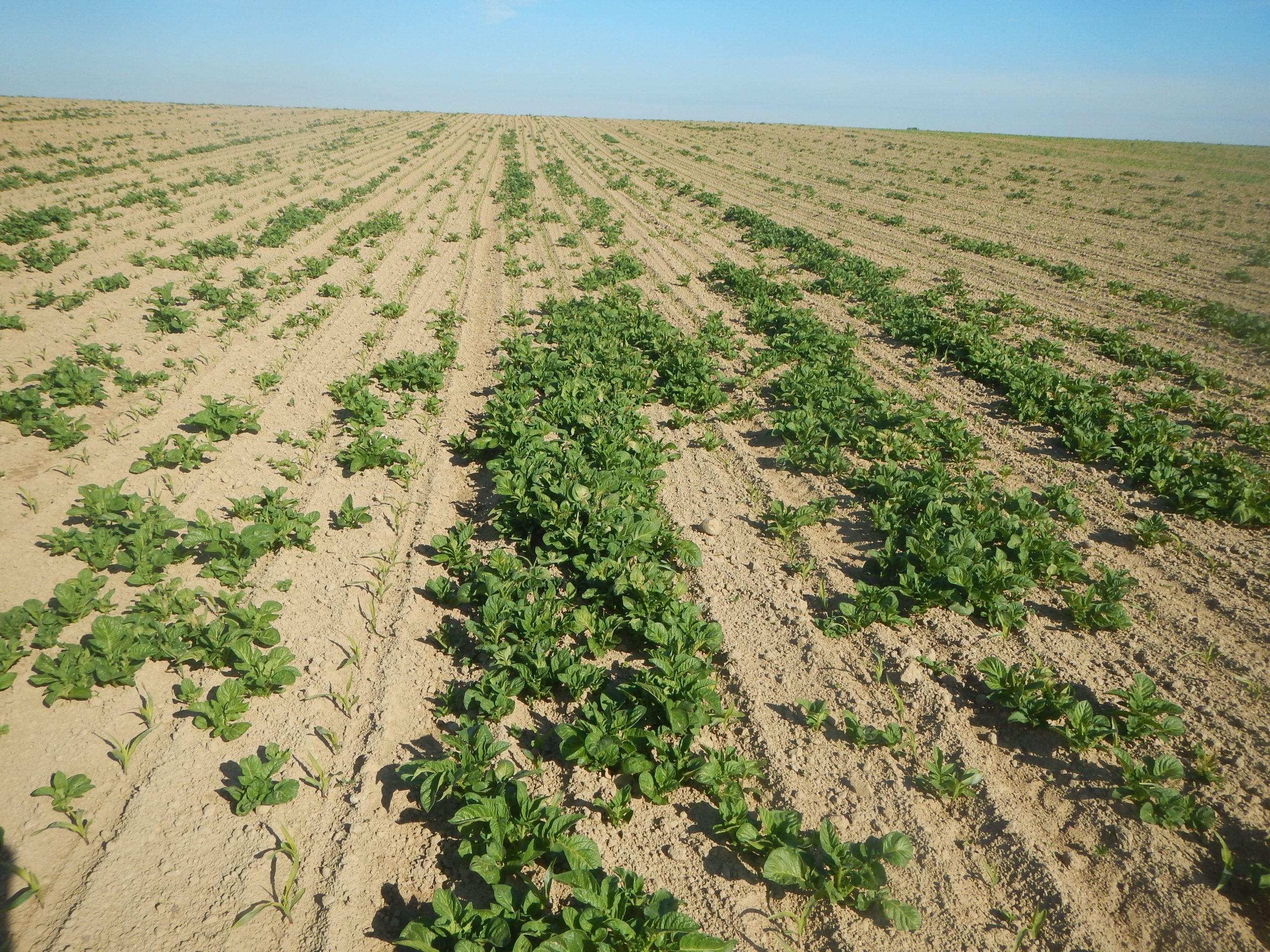 La lutte contre les repousses de pomme de terre en maïs.