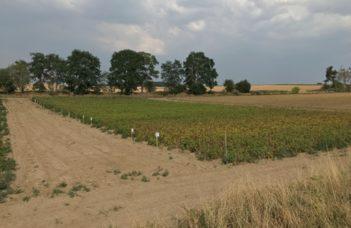Défanages alternatifs en culture de plants de pomme de terre – juin 2021